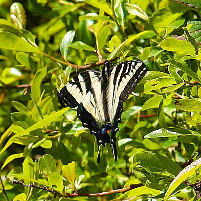 Butterflies California Central Coast
