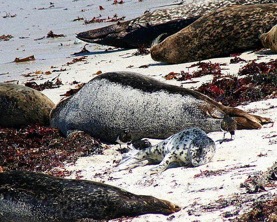 pupping season in Monterey