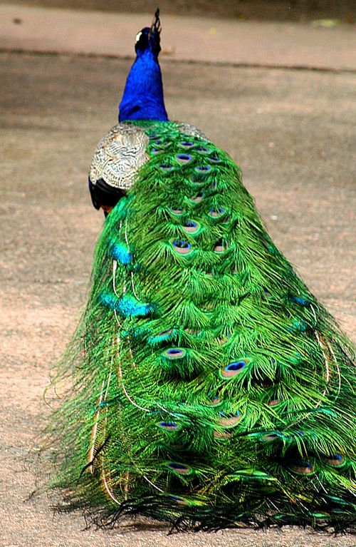 NPS peacock