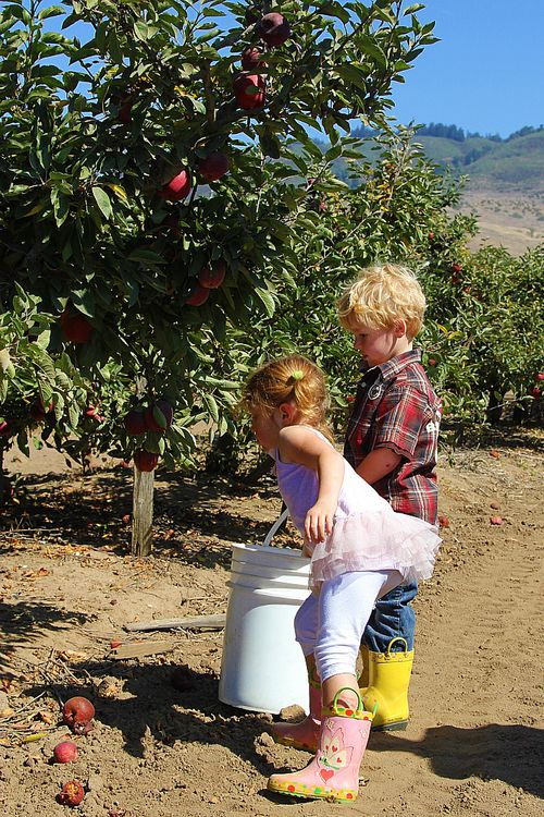 apple picking Monterey