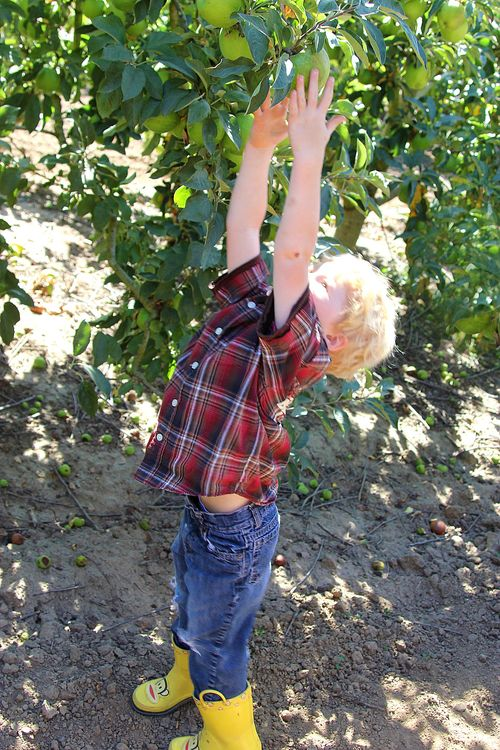 apple picking Watsonville