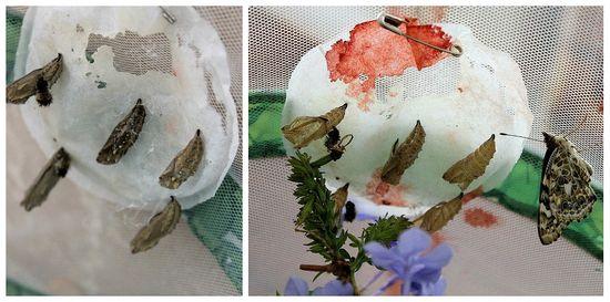 Butterflies emerging