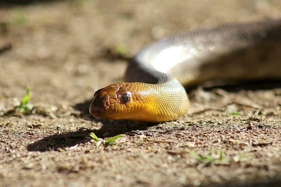 Australian non poisonous snake