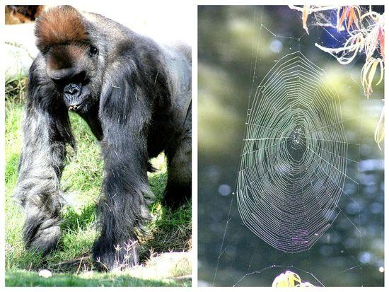 San Diego Zoo Safari Park Gorilla