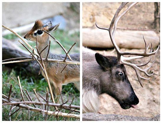 Reindeer at the San Diego Zoo