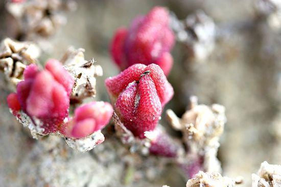 Torrey Pines beach flora
