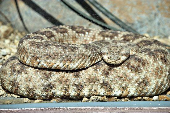 san diego zoo rattlesnake