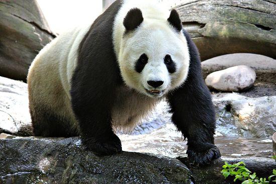 panda trek