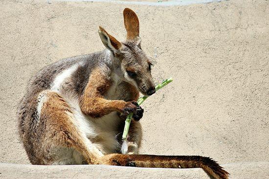 san diego zoo wallaby