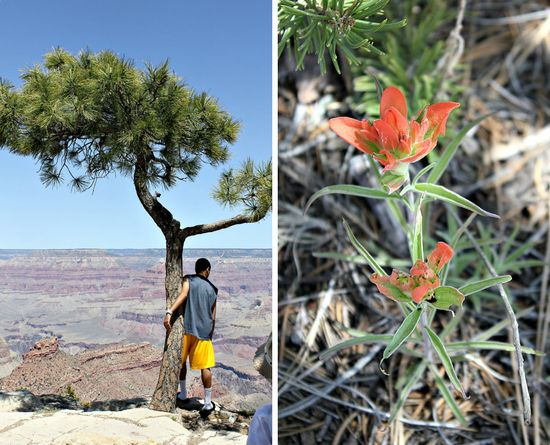 Grand canyon wildflowers