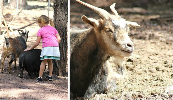 Bearizona Goats
