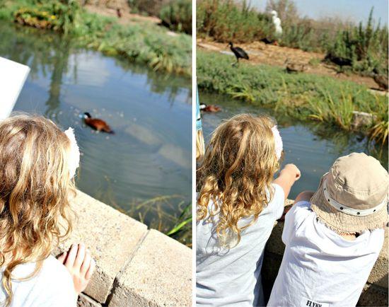 Duck feeding at living coast nature center