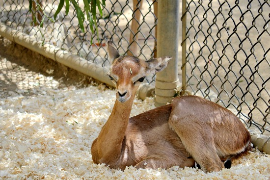 LA Zoo Steenbok