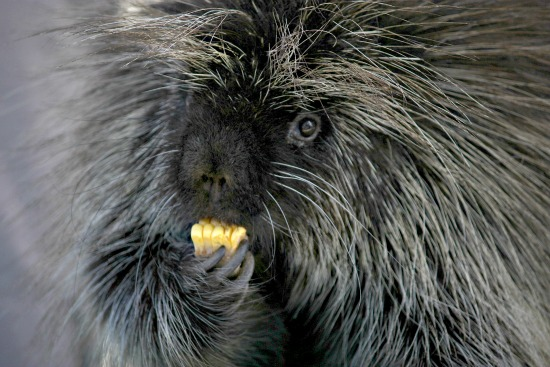 A porcupine eating lunch
