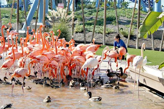 Flamingo Feeding SeaWorld San Diego