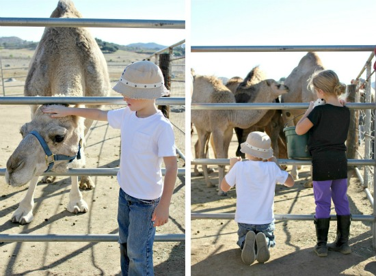 Oasis camel dairy