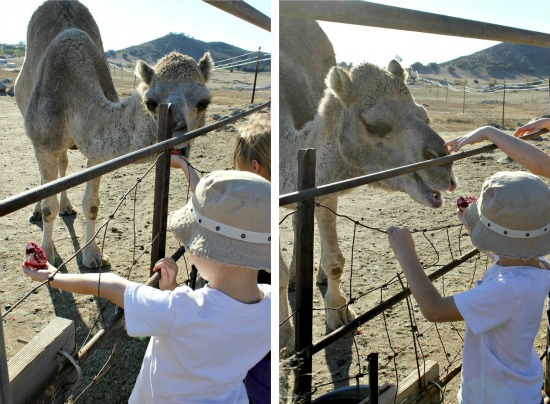 Feeding camels at the camel dairy
