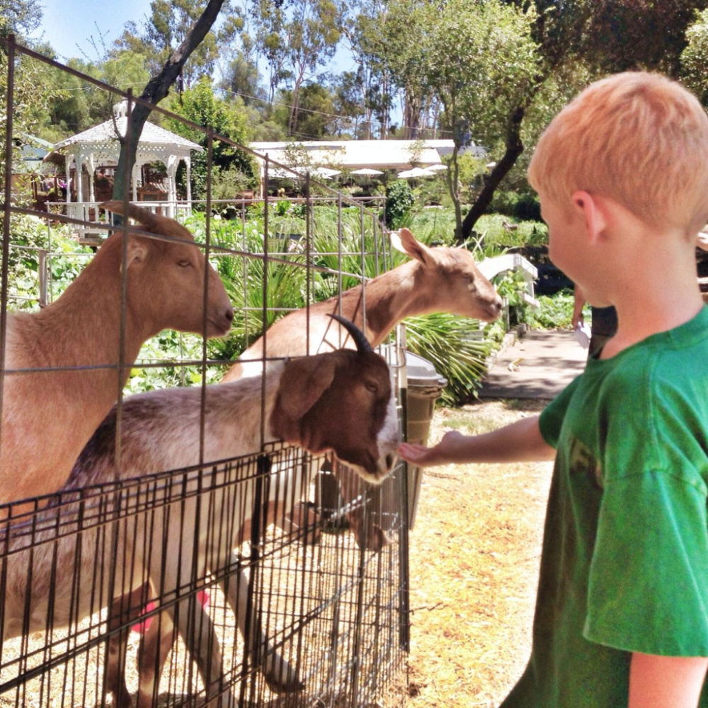 a boy feeding goats
