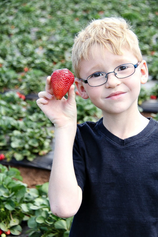 a boy holding a strawberry at the strawberry farm