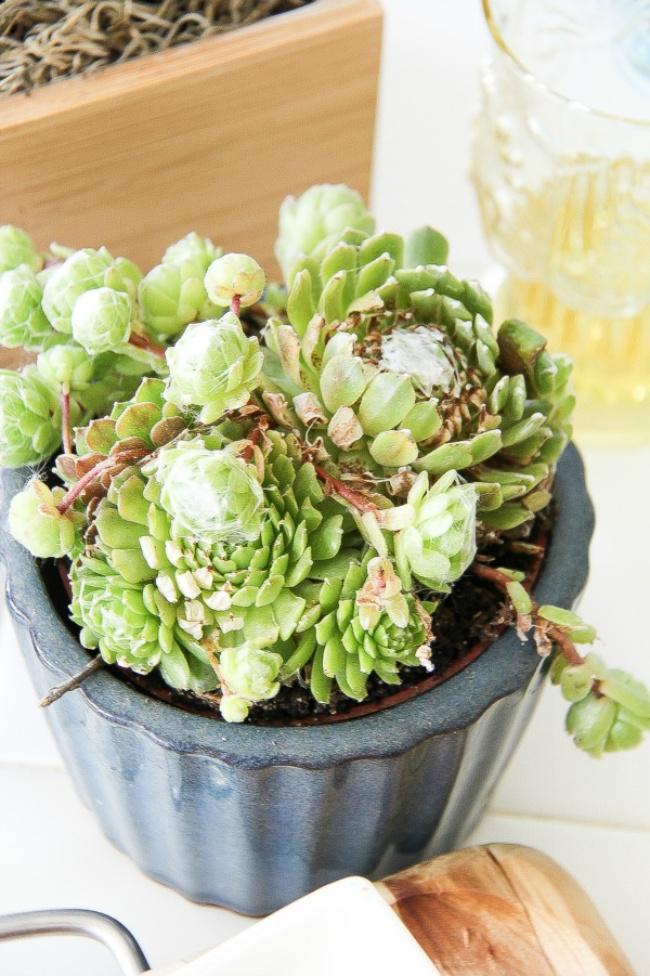 succulent plants in a blue pot