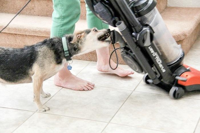 dog biting a vacuum cleaner