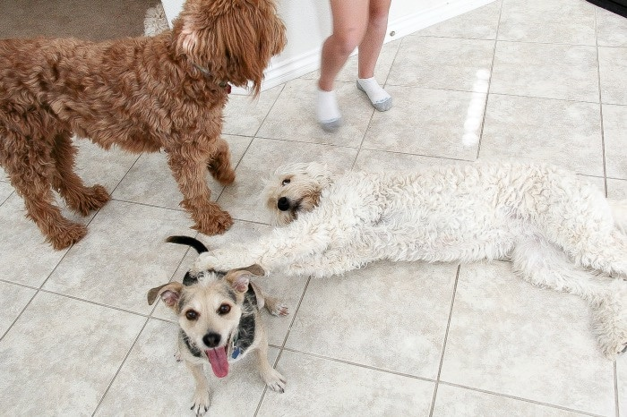 dogs playing on the floor