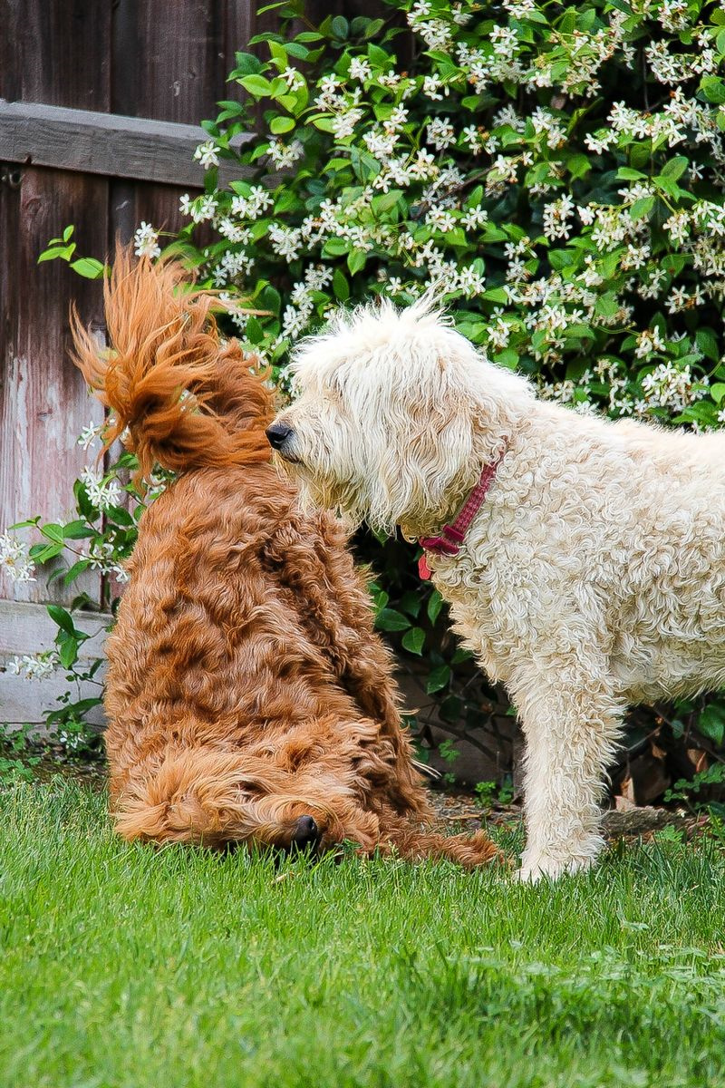 a white and brown labradoodle playing on grass