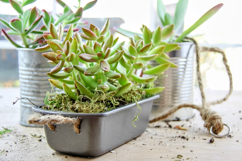 succulents planted in baking tins and tin cans