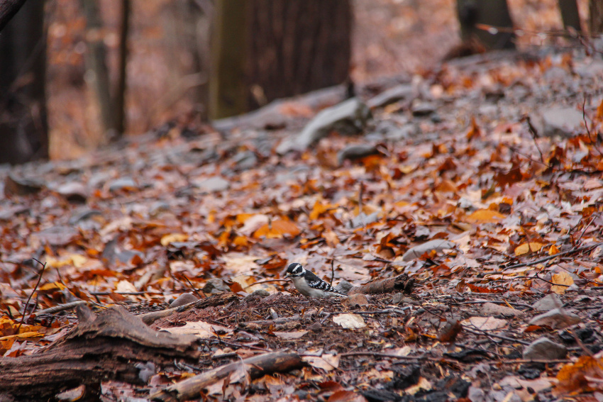 a downy woodpecker in fall leaves on the ground