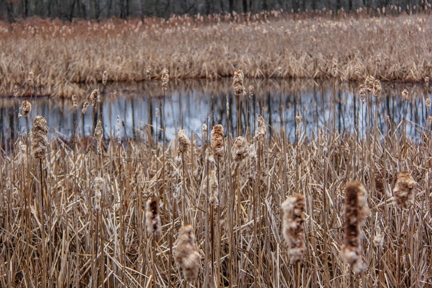 reeds in front of an iced over pond at a swamp in new jersey