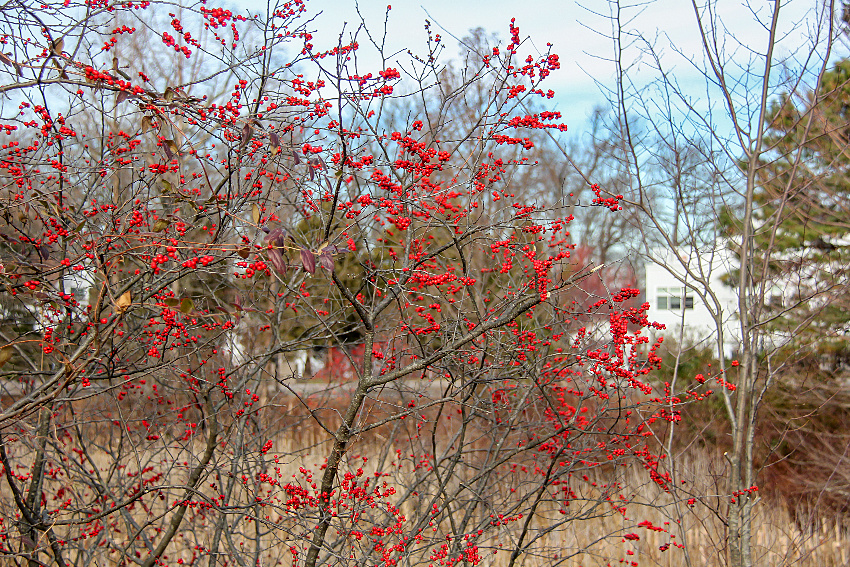 red berries on bushes at The Friends of The Frelinghuysen Arboretum