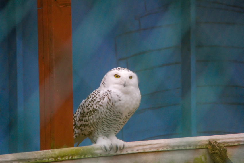 snowy owl at the raptor trust