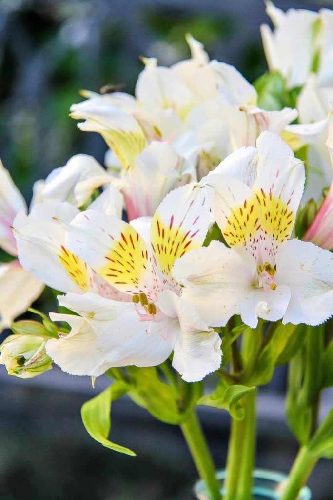 white flowers with yellow and pink on them