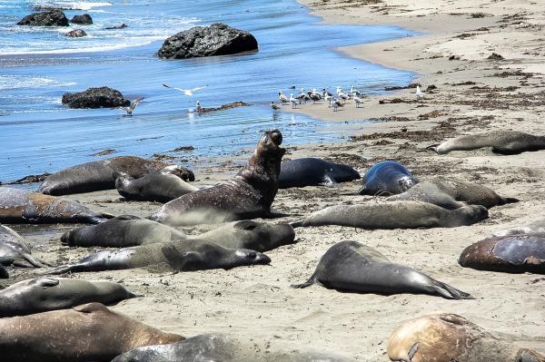 elephant seals on the beach in san simeon