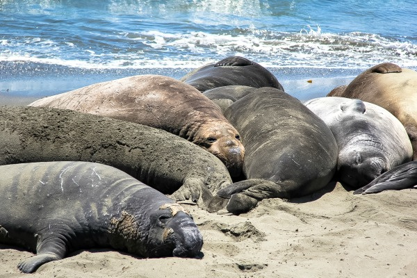 elephant seals on the sand