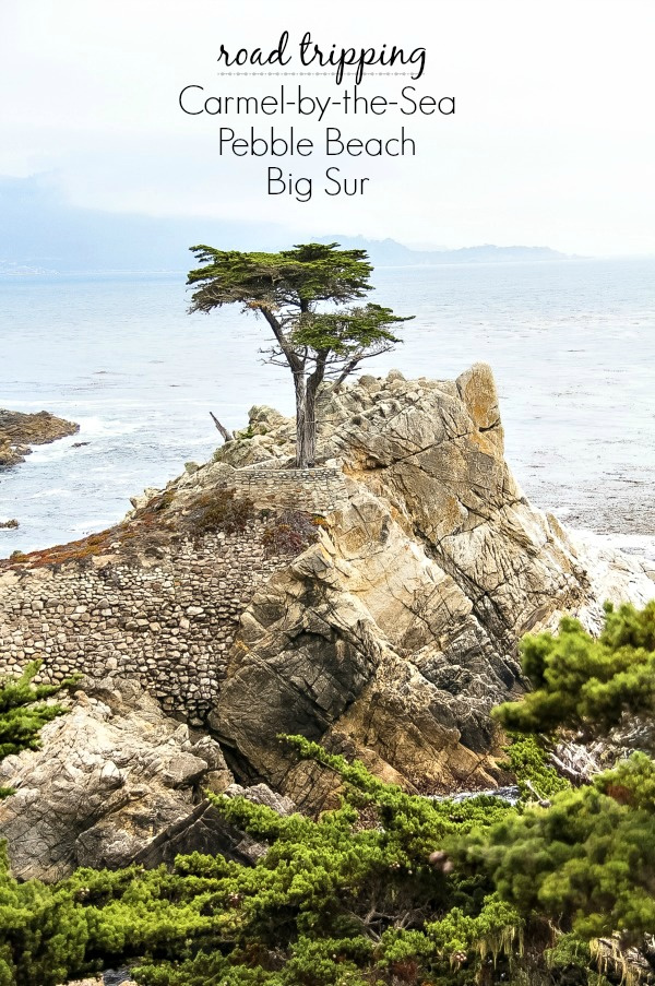 the lone tree in pebble beach