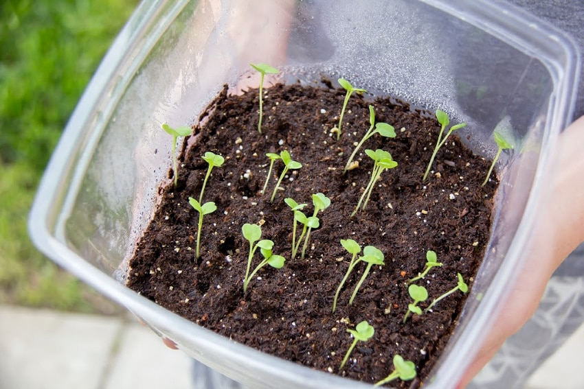 plants shoots in soil inside a plastic container