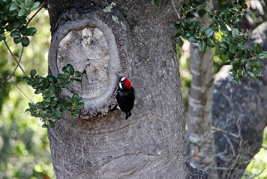red and black woodpecker on a tree trunk