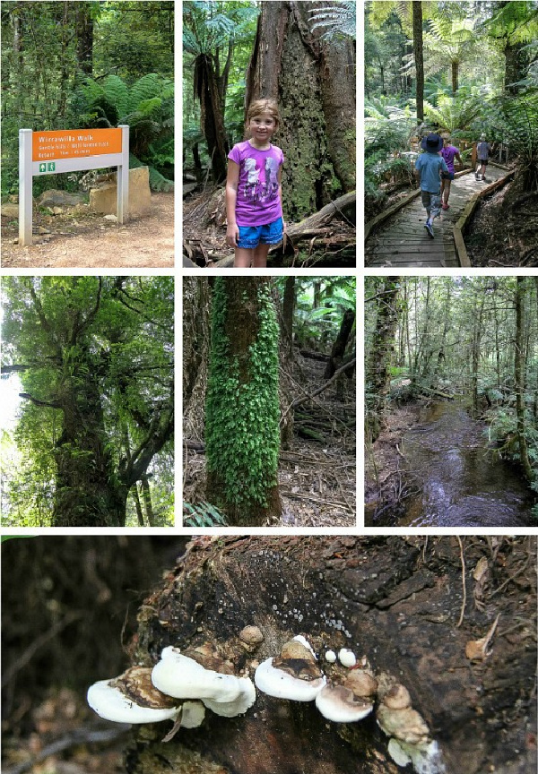 a collage of photos from Wirrawilla Rainforest Walk in Toolangi State Forest