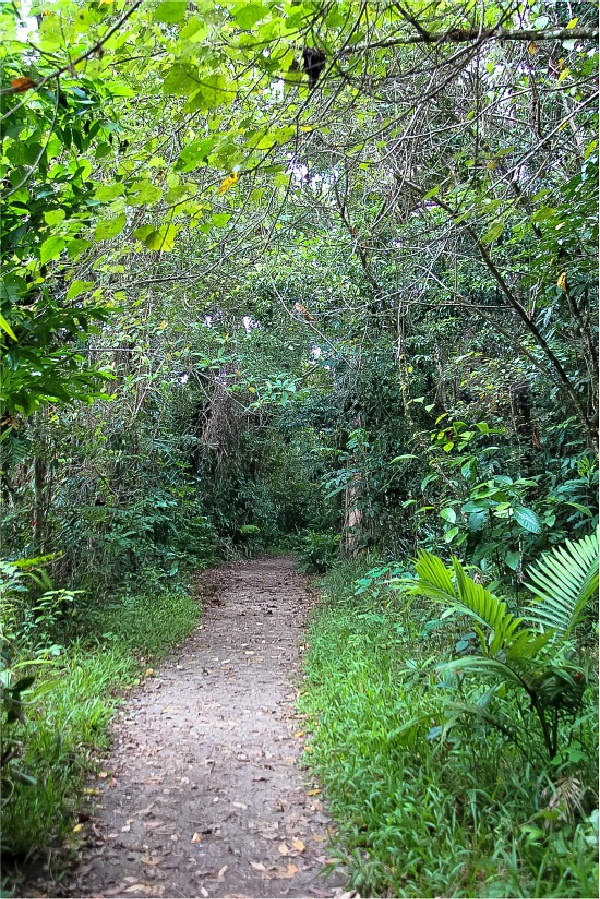 the path along the Mangrove Boardwalk in the Daintree Rainforest