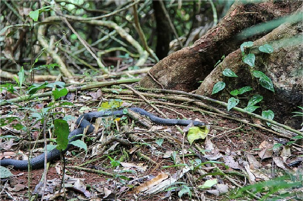 a black snack on the ground off the Jindalba Boardwalk in the Daintree Rainforest