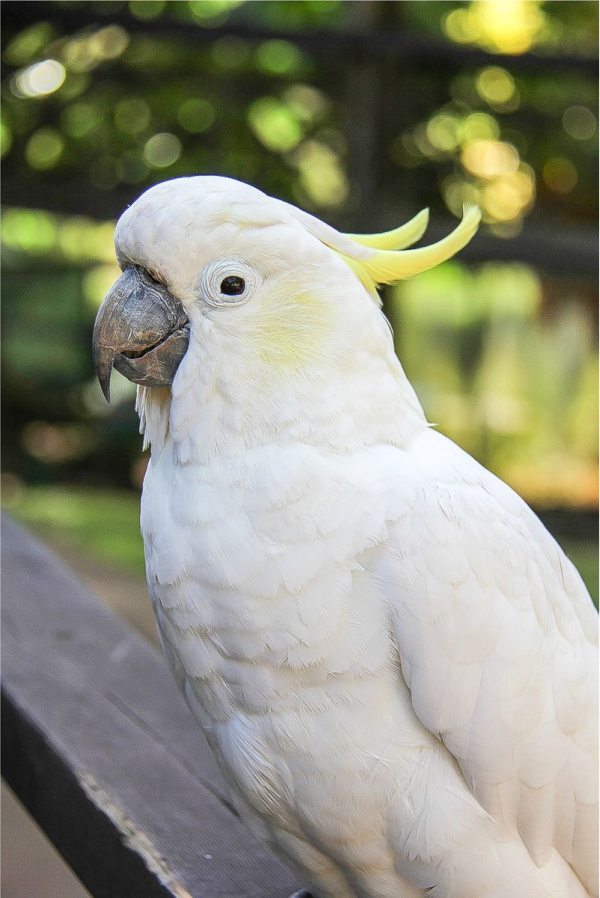 a cockatoo at kuranda nature park