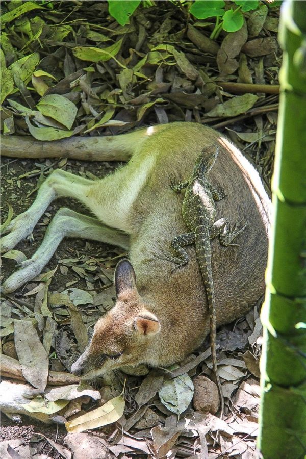 a monitor lizard on a kangaroo