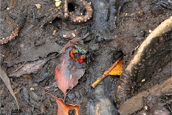 a small crab with red claws on the mangrove boardwalk