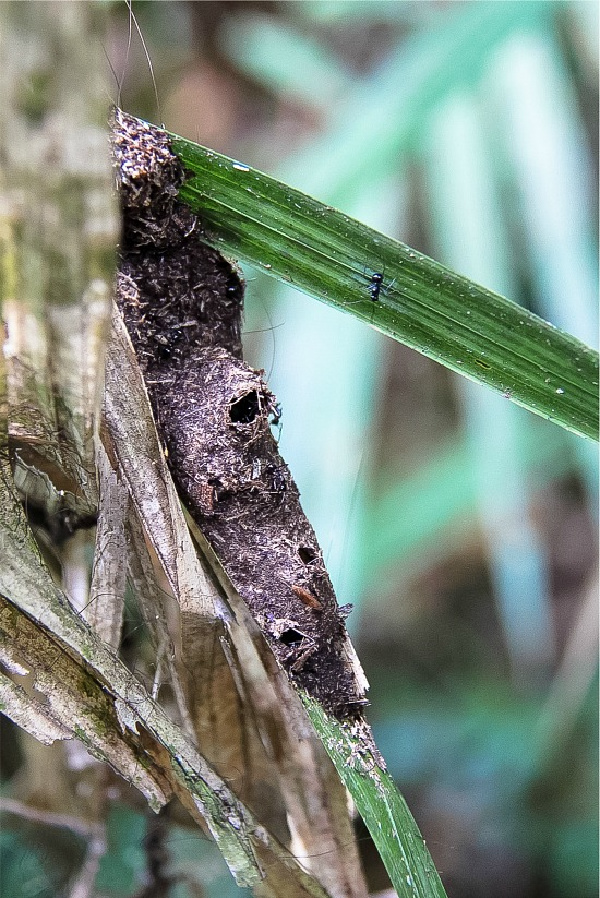 an insect nest on a plant with an ant on a leaf