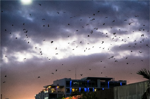 large bats flying over cairns