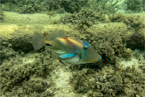blue and gold fish at green island