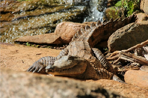 crocodile at kuranda nature park