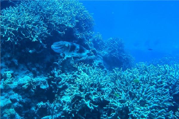 cuttlefish great barrier reef