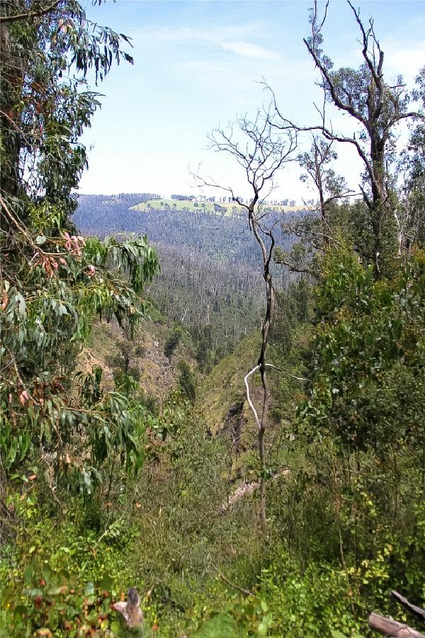 view through trees of kinglake national park in australia